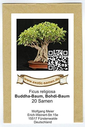 Bonsai – Ficus religiosa – Buddha-Baum – Bohdi-Baum (20 Samen)