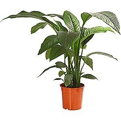 """Dehner Air So Pure Einblatt""""Sensation"""", großes Blattwerk, ca. 140-150 cm, Zimmerpflanze"""