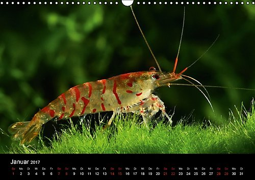Dwarf Shrimp - kleine Garnelen (Wandkalender 2017 DIN A3 quer): Faszination der Farben: Zwerggarnelen (Monatskalender, 14 Seiten ) (CALVENDO Tiere) -