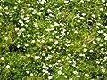 Sagina subulata - Sternmoos, 24 Pflanzen von Dachstauden auf Du und dein Garten