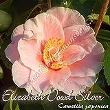 Kamelie 'Elizabeth Dowd Silver' - Camellia japonica, Grupo de precio:6