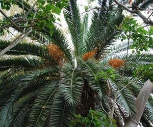 Canary Island Date Palm Seeds (Phoenix canariensis) 5+ Rare Seeds + FREE Bonus 6 Variety Seed Pack - a $29.95 Value! Packed in FROZEN SEED CAPSULES for Growing Seeds Now or Saving Seeds For Years