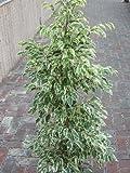 Plante d'intérieur - Plante pour la maison ou le bureau - Ficus benjamina - Figuier pleureur panaché, hauteur 1,1m
