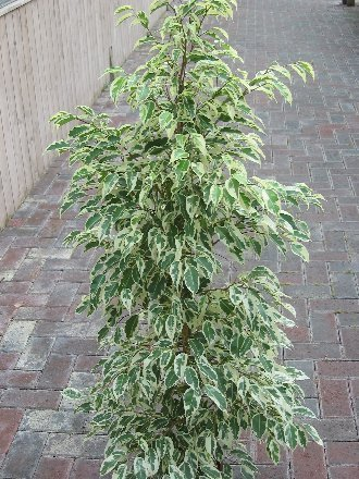 plante-dinterieur-plante-pour-la-maison-ou-le-bureau-ficus-benjamina-figuier-pleureur-panache-hauteu