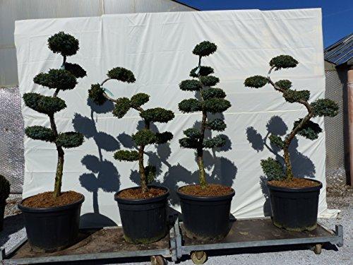 Juniperus squa.
