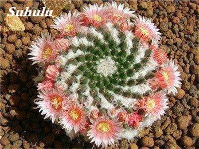 100 Pcs mixte vrai Cactus Seeds, Mini Cactus, Figuier, Graines Bonsai fleurs, vivaces herbes Plante en pot pour jardin 5