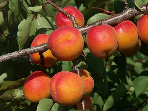 Fruchtbengel, Aprikose Kioto, Prunus armeniaca, reichfruchtend, starkblühend, winterhart