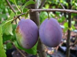 Pflaume Busch-Baum Hauszwetsche süß 120-150 cm blau-violettes Gartenpflanze Obst 1 Pflanze