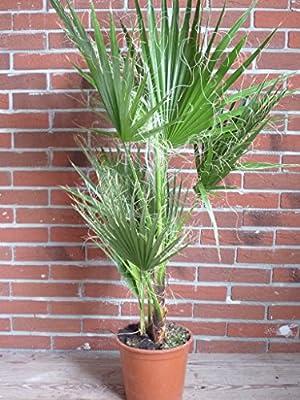 washingtonia robusta 120 cm +/- Arecaceae Palme palmen filifera