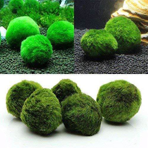 GUIYIHUA 10 Stück Marimo Moos Balls Erstellen der ästhetisch schönen, gesunden Umwelt Umweltfreundliche Wasserpflanzen, pflegeleicht für Bordkanten Algenwachstumsgarnelen Schnecken lieben Sie
