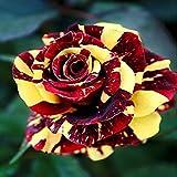 Azalea Gardens Rare Rose Flower Live Plant ' Red Yellow ' Rose Flower Plant (1 Healthy Live Plant)