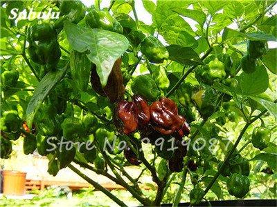 Scotch Pepper Bonnet Samen (Beförderung ! 200 Stück Schokolade Scotch Bonnet Hot Riesen Pepper Samen Gewürze Spicy Chili Bio-Gemüse No-Gmo für Garten Werk 3)