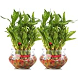 Nurturing Green Combo of 2 Lucky Bamboo Plant (2 Layer) in Glass and Ceramic Pot. (2 Lucky Bamboo Plant in matki Glass Pot, Transparent)