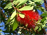 Seedeo Australischer Lampenputzer (Callistemon citrinus) 300 Samen