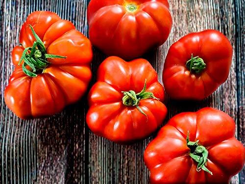 "Asklepios-seeds® - Tomatensamen, 100 Samen""Marmande"" alte Sorte, Fleischtomate"