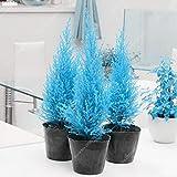 60pcs/Bag Rare blau Cypress Seed Mini Bonsai Morgenländischer Lebensbaum Ostmark arborvitae Garden Konifere Topfpflanzen Baum einfach zu wachsen