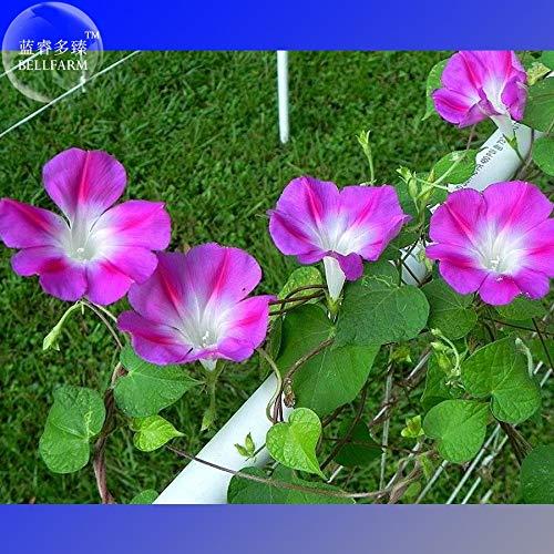 Bellfarm Bonsai Ipomoea purpurea doble personalidad Morning Glory alta germinación -50pcs / pack - Morning Glory Ipomoea Purpurea
