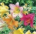 Bunter Lilien-Hybrid Mix 10/ 25 / Blumenzwiebeln Wuchshöhe ca. bis 80cm Lilium von Peciborsc Pflanzenraritäten - Du und dein Garten