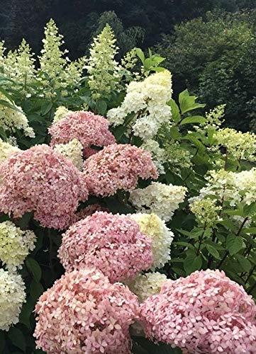 homely 10 pz/borsa fiore ortensia, giardino semi di ortensia balcone fiore tasso di erba 97 facile da coltivare: 6