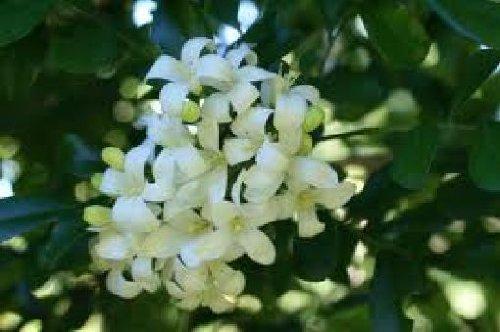 Murraya paniculata, Orangenjasmin, 10 Samen, duftend u. selten!