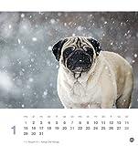 Mops Postkartenkalender - Kalender 2018