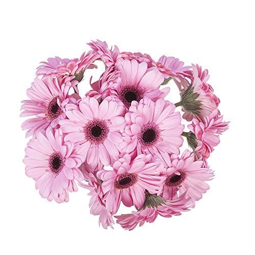 Choice of Green - 1 bouquet de gerberas - 10 tiges - Hauteur ↕ 60 cm - Qualité hollandaise - Frais du producteur