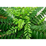 Indian Gardening Live Curry Plant
