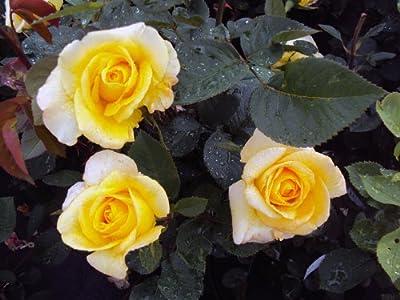 Edelrose Golden Silk ® Saunelle ® Containerrosen im großen 7,5 Liter Topf von Gartencenter Bartels auf Du und dein Garten