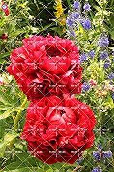 10 pcs Double Blooms Pivoine Graines Heirloom Sorbet robuste Pivoine rouge Bonsai Graines de fleurs Pot Arbre Pivoine Jardin Graines Plante 12
