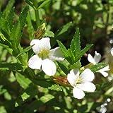 lichtnelke - Gottesgnadenkraut (Gratiola officinalis)