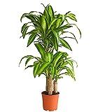 Dehner Drachenbaum Massangeana, dreitriebig, ca. 110-120 cm, Ø Topf 21 cm, Zimmerpflanze