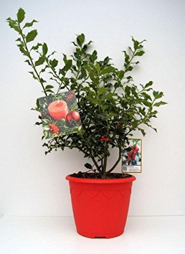 Ilex aquifolium Alaska – immergrüne Stechpalme Alaska – im 7,5 l Dekorationstopf mit Weihnachtsbildetikett Preis nach Stückzahl 10 Stück
