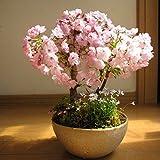 20pcs/bag Sakura Samen Brunnen weinend Kirschbaum Samen Dwarf japanische Blüten Bonsai Blume für DIY Hausgarten-Anlage 07
