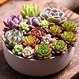 Meisijia 100pcs/Beutel Sukkulente Samen Blumensamen für Wohnzimmer-Hausgarten-Pflanzensamen