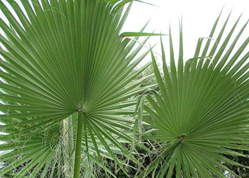 Chinese fan palm: Livistona chinensis (English Edition)