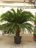 Cycas Revoluta XXXL 2,30 Meter +/- ,Palmfarn - Sagopalme,