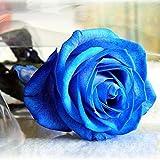 PhilMat Semillas 50 piezas azul rosa jardín de DIY diciembre