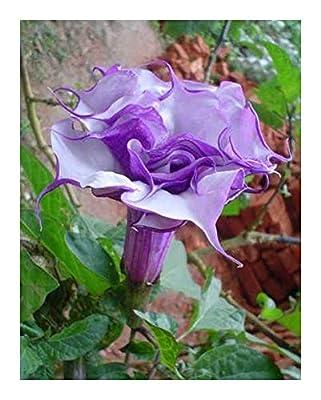Exotic Plants Datura purple queen double - Engelstrompete - Stechapfel - Samen von Exotic Plants bei Du und dein Garten