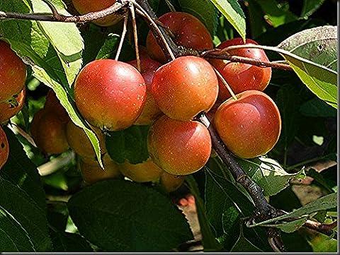 Privick Mill Nursery - Crab Apple - Malus Sylvestris -