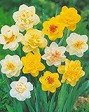 20 gefüllte gemischte Narzissen Blumenzwiebeln
