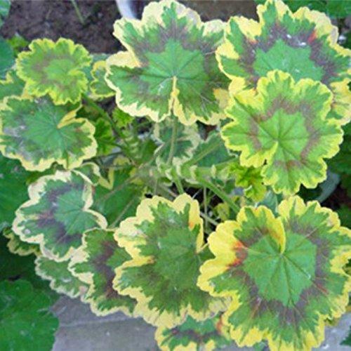 nuova-casa-giardino-di-piante-10-semi-annuali-lisianto-magia-champagne-doppio-taglio-semi-di-fiori