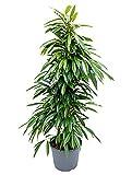 Birkenfeige Amstel King 120-150 cm im 35 cm Topf große Zimmerpflanze für hellen Standort Ficus binnendijkii 1 Pflanze