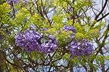 Jacaranda mimosifolia Palisanderbaum 10 Samen
