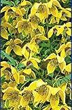 Waldrebe - Clematis orientalis - Orange Peel - starktriebig, robust - 40 - 60 cm