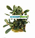 Bucephalandra spec. ´Deep purple´ im Topf...