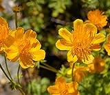 Trollius chinensis Golden Queen - Trollblume - Chinesische Trollblume - Garten Trollblume Preis nach Stückzahl 2 Stück
