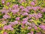 Shopmeeko 50pcs plante de verveine rare Verveine Hybrida Bonsaï plante à fleurs plantes vivaces aromatiques plantes de balcon intÃrieur pour la maison jardin: 2