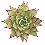 #6: K S Trading Live Succulent Plant Echeveria Agavoides Ebony