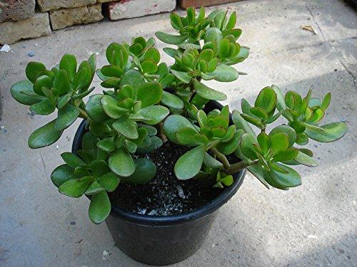 Money Plant Amazon Co Uk