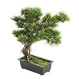 artplants Deko Bonsai Pinie Milan, grüne Nadeln, 35 cm - Kunstbaum/Bonsai künstlich